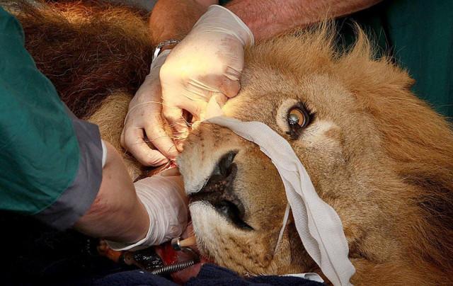 手术台上的动物们表情萌哭了