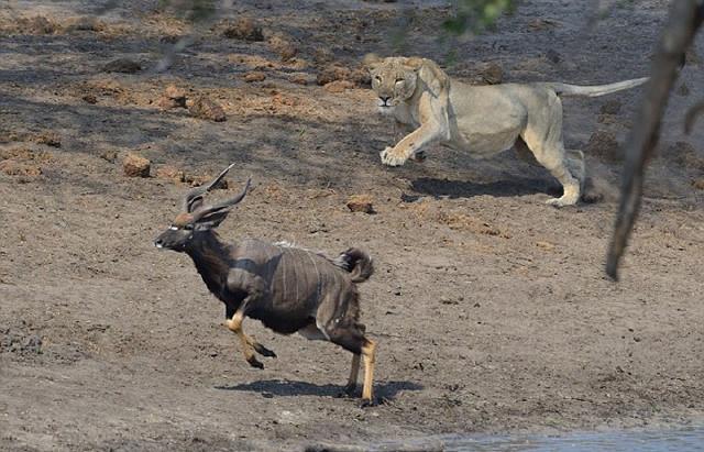 非洲性爱狠狠_林羚是一种螺旋角羚羊,常见于南非,津巴布韦,莫桑比克,马拉维等非洲