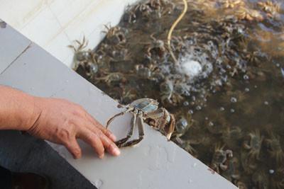 【亲子招募】去七里海钓螃蟹喽!附赠2斤河蟹 5斤葡萄!
