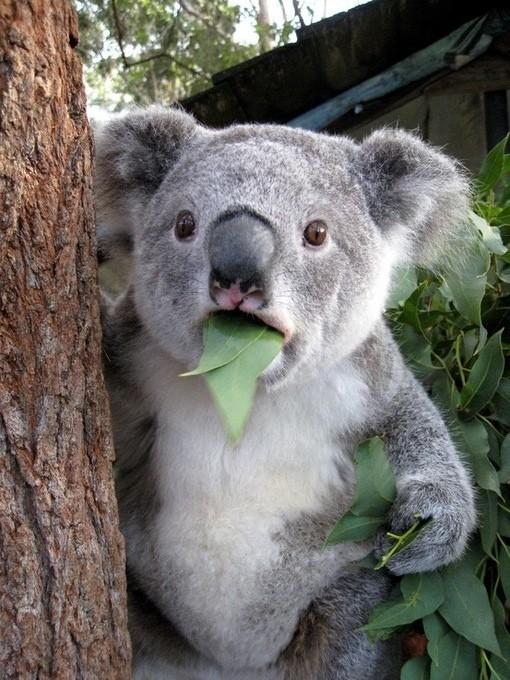 从前,澳大利亚有只可爱的小考拉,名字叫@秋叶 ,长的萌萌哒,每天就