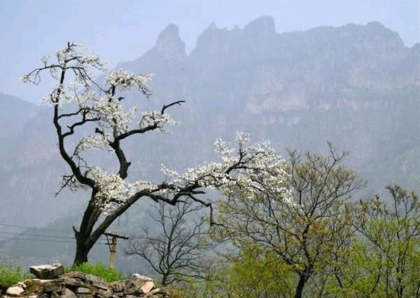 11、郭亮村头的一棵老梨树,迎客松一般欢迎前来的人们。