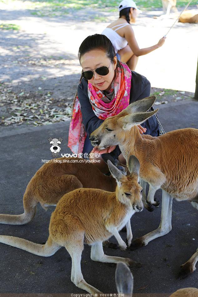 西澳天鹅谷·嘉华森野生动物园可爱的白袋鼠
