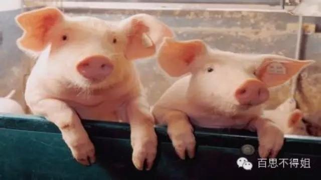 《两只猪》,看懂的都哭了