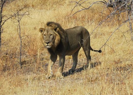 风险最大的是开始的48小时,管理员将密切监视每一只小狮子,这关系到它们之后几周的成长和行为发展。动物管理员们仔细监视小狮子们以保证它们的妈妈可以很好地照料它们,在它们长大一些并且具备一些社会化的技能之后它们才会和公众见面,此外,室外温度也需要达到至少华氏50度(10摄氏度)。