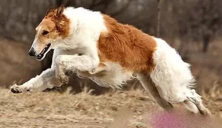 盘点世界上最可爱的十大狗狗!