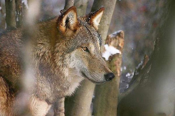 蒙古狼即草原狼,分布在北温带的草原地区