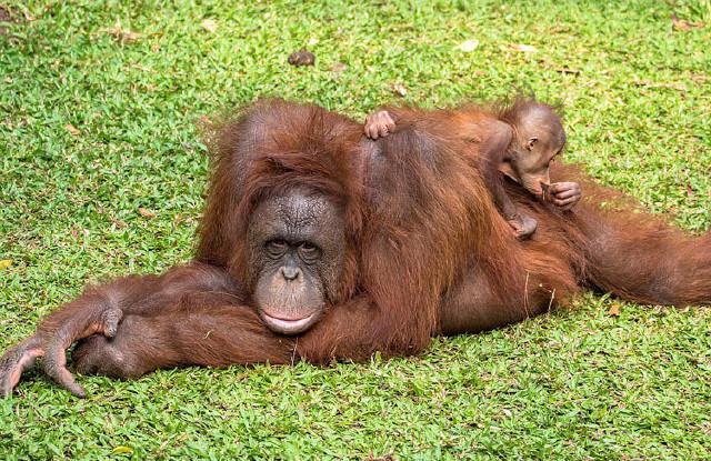 印尼猩猩幼崽闹醒打盹妈妈可爱撒娇