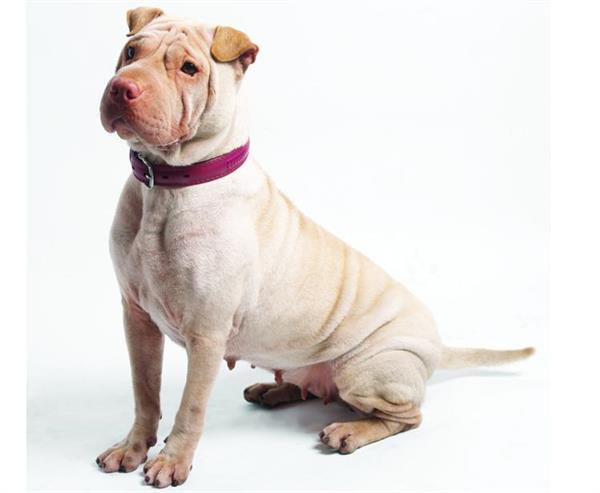 9.狗的理解方式与人类似   作为人类最