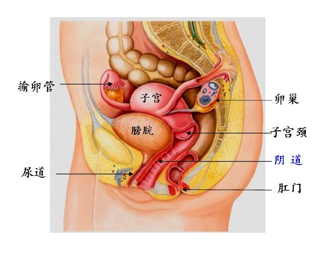 子宫收缩运动图解