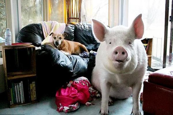 迷你猪长大体型如北极熊