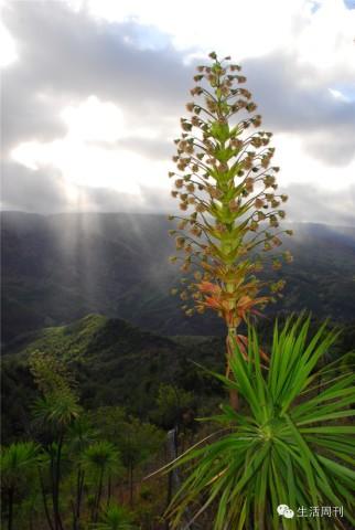 种野生植物:裂苞铁苋菜和